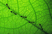 ants on a leaf in a line